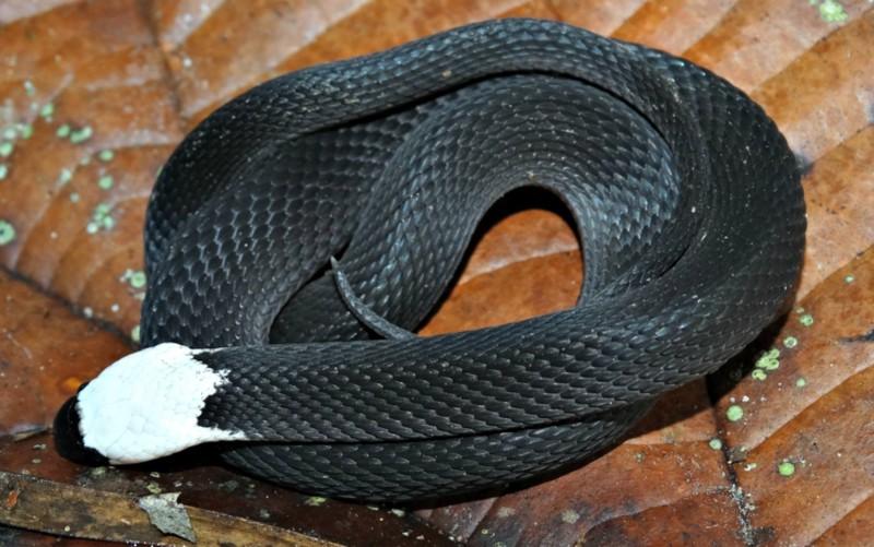 Serpente rara é descoberta em Estação Ecológica no Acre