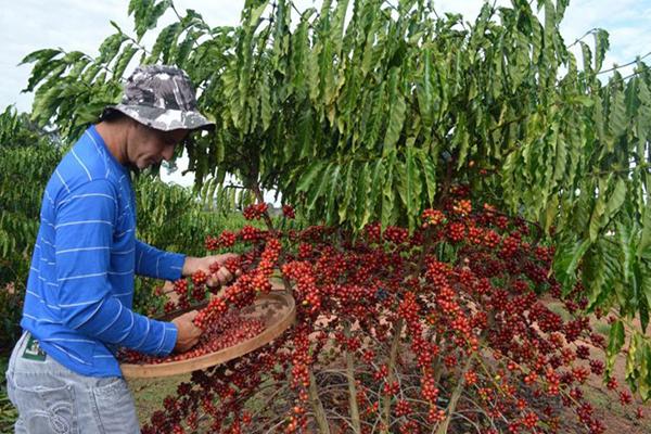 Safra brasileira de café deve recuar 7%, para 52,1 mi de sacas